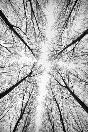 black and white forest: Black and white forest of trees photographed from below - the effect abstract Stock Photo
