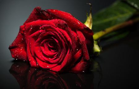 rosas negras: Hermoso se levant� cerca de la foto de fondo negro