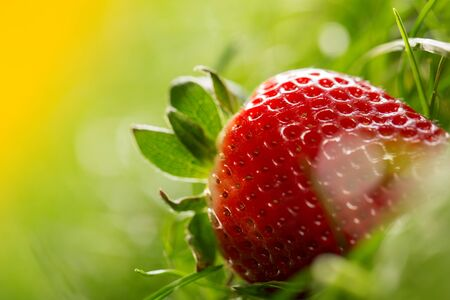 'wild strawberry: Wild strawberry isolated in a green grass, studio shot Stock Photo