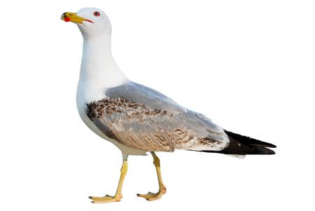 bird feet: Sea bird Seagull standing on his feet isolated on white background