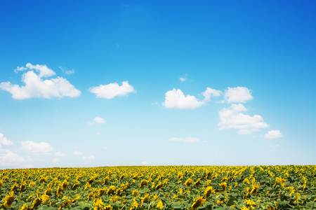 sunflowers field: Sunflowers field and beautiful cloudscape Stock Photo