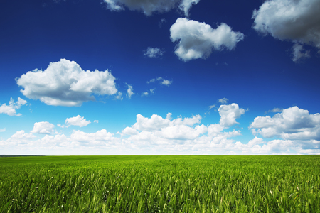 agriculture landscape: Farmland. Wheat field against blue sky with white clouds. Agriculture scene Stock Photo