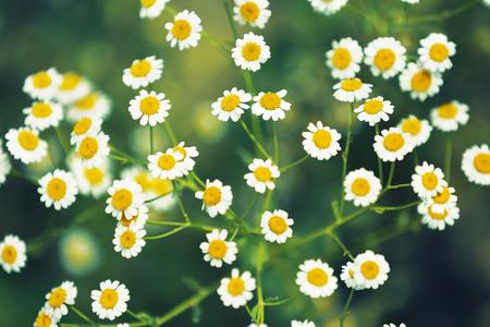 흰색 데이지 꽃 배경입니다. 자연 카모마일. 스톡 콘텐츠