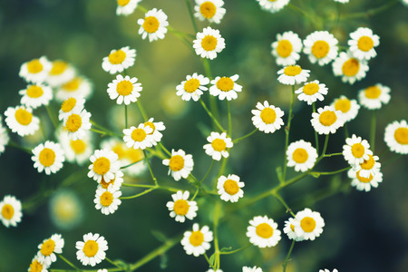 White daisy flower background. Chamomile in nature.