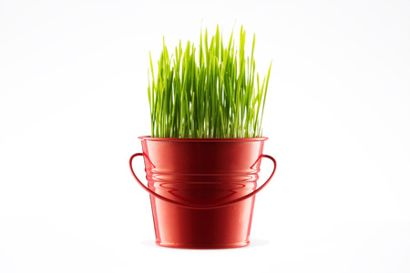 green wheat: Green wheat grass in decorative pot isolated on white background