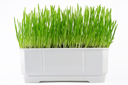 plant in pot: Growing fresh green grass in white pot