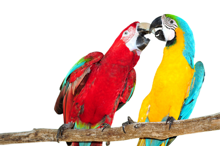 maccaw: Two big parrots, couple of beautiful macaws Isolated on white background Stock Photo