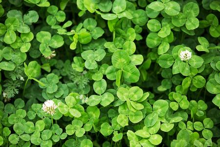 three leaf: Three leaf clovers in the farmland field