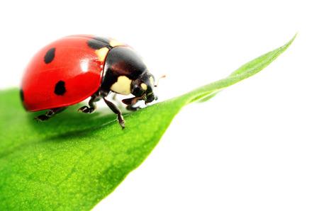insecto: Mariquita sobre hierba verde aislado en blanco