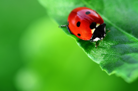 Ladybug on green leaf defocused background