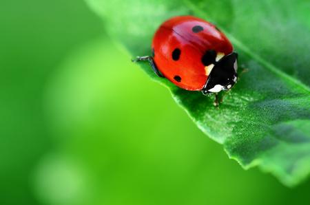 mariquitas: Ladybug en la hoja de desenfocado fondo verde Foto de archivo