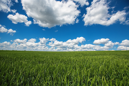 농토. 흰 구름과 푸른 하늘에 대 한 밀 필드입니다. 농업 현장