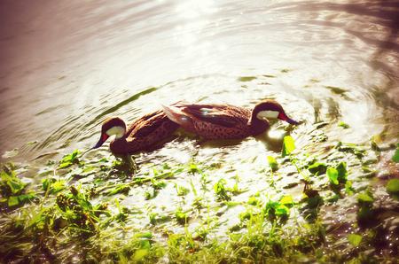도미니카 공화국의 열대 호수에서 일몰을 즐기는 두 개의 물 오리