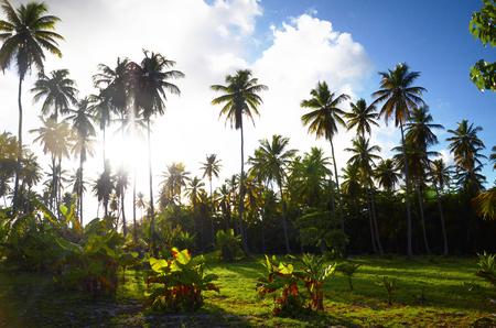 럭셔리 카리브 리조트, 도미니카 공화국, 푼 타 Cana에에서 코코넛 야 자 나무 정원