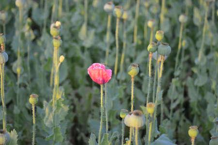 feld: bl�hende Mohnblume mitten im Feld Stock Photo