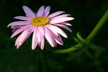 A closeup of a pink daisy on green-black background. Image is untouched and extremely crisp. photo
