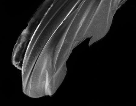 microscopy: Scanning Electron Image of a fly wing at high magnification.