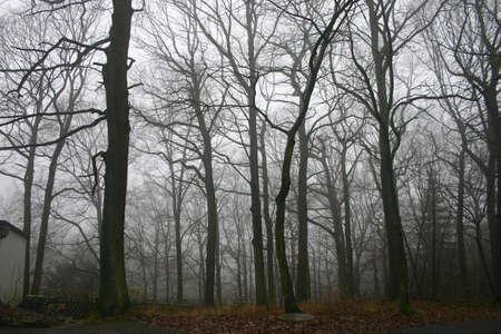 damp: Una foresta europea sfogliata del faggio in un giorno nebbioso di caduta. La sensibilit� � tenebrosa, bagnato, umido, freddo.
