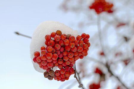 bunchy: Una gavilla de rowanberry en una rama en la nieve