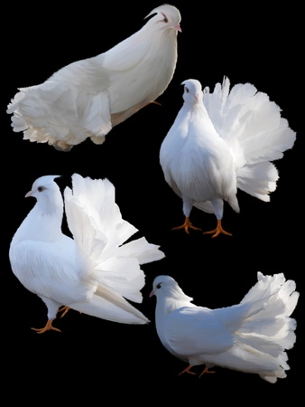 Set of four doves on a black background.