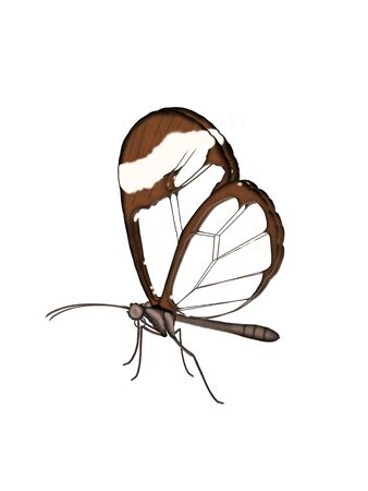 Illustration of a Glasswing butterfly on a white background. Stock Photo