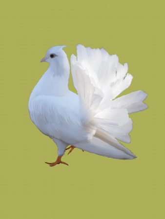 White dove isolated on a color background. photo
