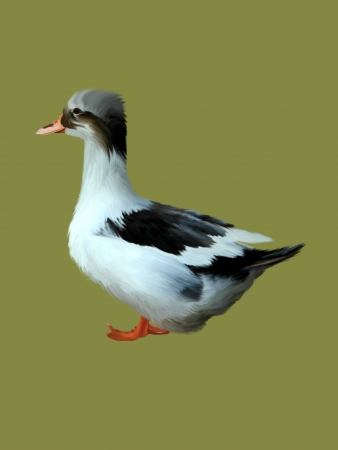 Common duck isolated on a color background.