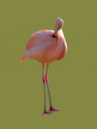 Flamingo isolated on a color background.