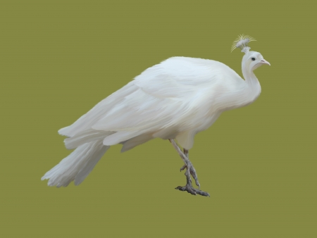 White peacock isolated on a color background.