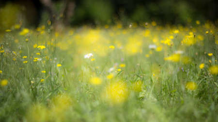 over grown: A carpet of flowers in a green field. Spring has arrived.