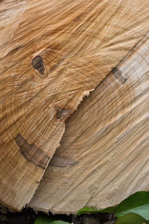 face in tree bark: A cut tree trunk in which we see a smiling face.