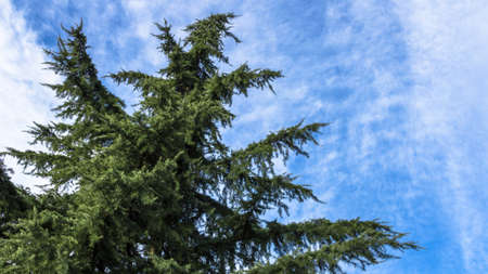 An ancient pine tree overlooking the blue sky and clouds. photo