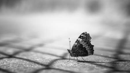 motionless: Close up of a butterfly in black and white on blurry background.