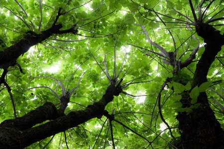 limetree: Sunlight soft and quiet through the branches of the forest.