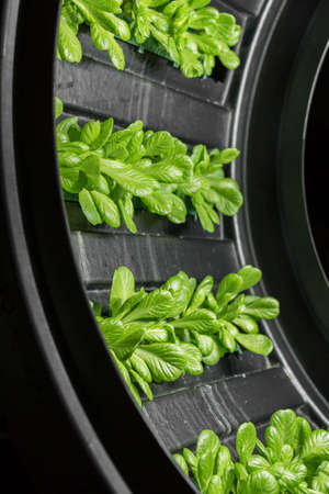 Indoor cultivation of lettuce in circular structures rotating. Reklamní fotografie