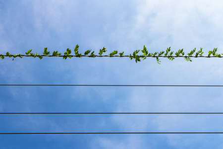 climbing cable: Climbing plant on electric cable with blue sky in the background.