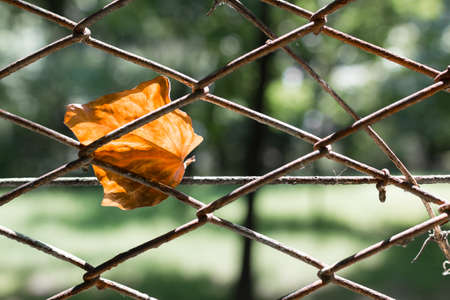 dead leaf: A dead leaf and imprisoned in a fence, between the rust.
