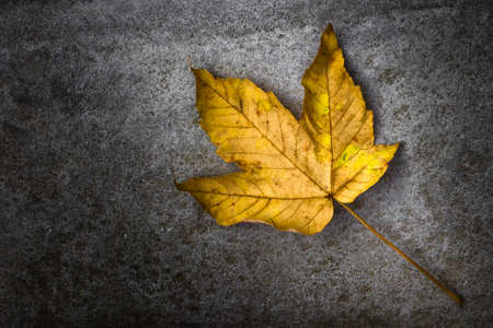 dead leaf: Dead leaf, yellow and orange color, isolated on a dark background.