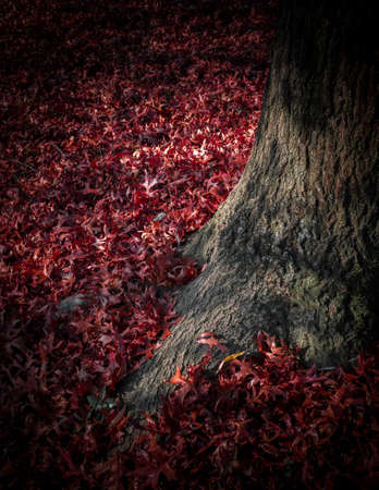 backgrounds trees: Carpet of fallen red leaves at the foot of a tree. Stock Photo