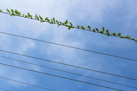 climbing plant: Climbing plant on electric cable with blue sky in the background.