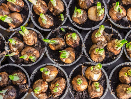 rooting: Hyacinths and daffodil flower bulbs ready for planting in the flowerbed.