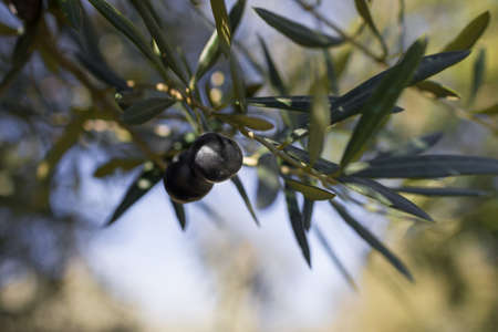 atmospheric: Atmospheric image of a Olive tree with black Olives hanging from the branches set in low sun showing bokeh