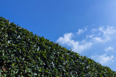 trees services: Big hedge against a blue sky, suitable as background or setting.