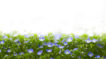speedwell: Veronica filiformis (Slender speedwell) in natural habitat. With white copyspace for all uses. Stock Photo