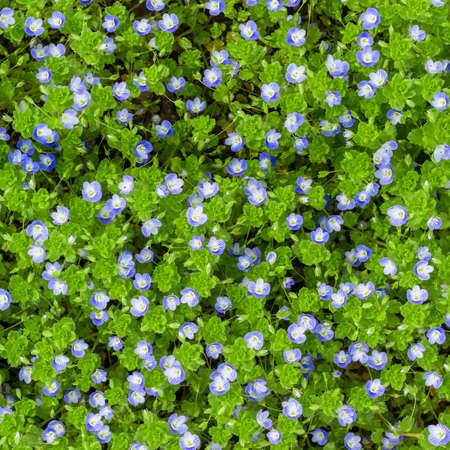 plantaginaceae: Small soft blue veronica flowers grow in spring outdoors