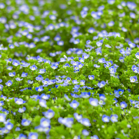 Blue small wildflowers. Fresh small light blue flowers (forget-me-not) at the daylight. Small soft blue veronica persica flowers grow in spring outdoors. Stock Photo