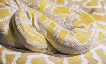 Indian albino python of the rocks wrapped in a coil Stock Photo