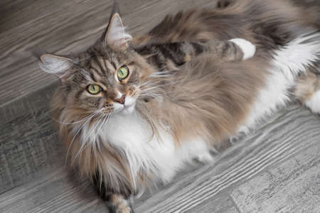 Closeup portrait of Maine Coon cat lies on a wooden floor