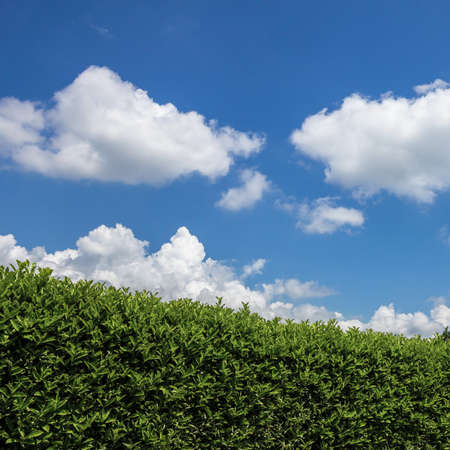 Green hedge in a garden with blue sky and white clouds as background