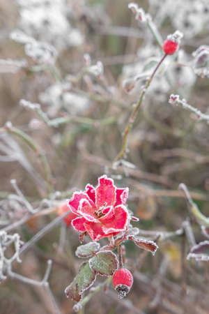 Red iced flower in exterior, with defocused blurred background.